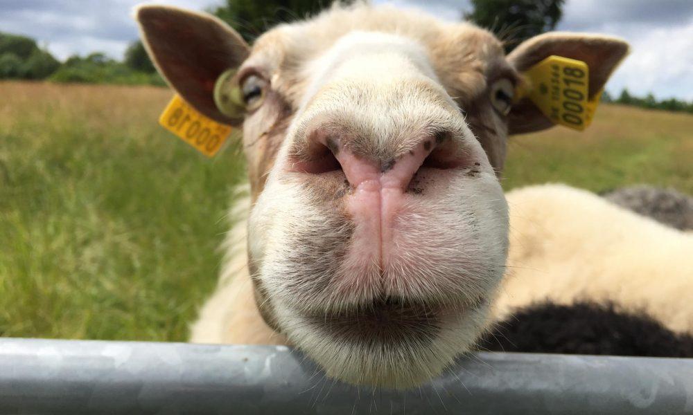 Turforslag – Hils på fårene ved Gl. Ølstykke Kirke